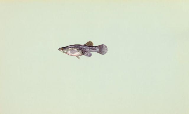 Mosquitofish Picture