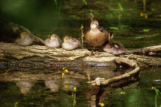 Blue-winged Teal brood Picture