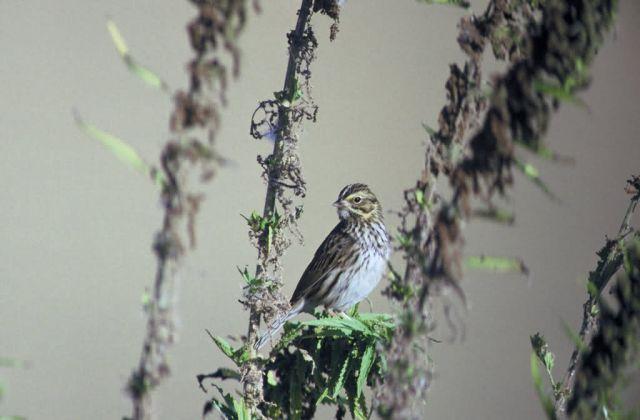 Savannah Sparrow Picture