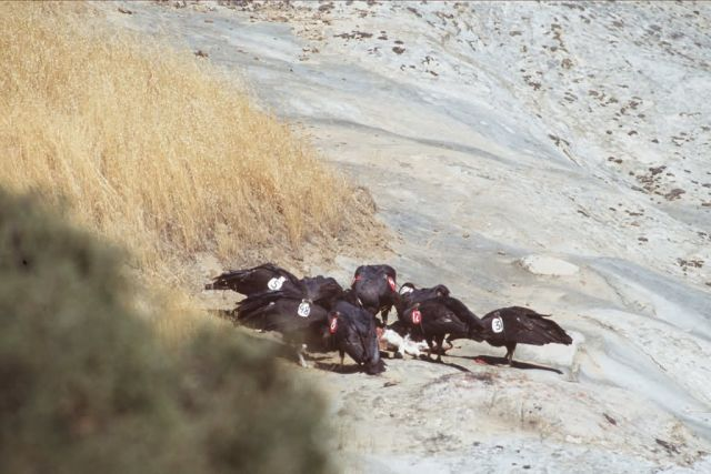 California Condors Picture