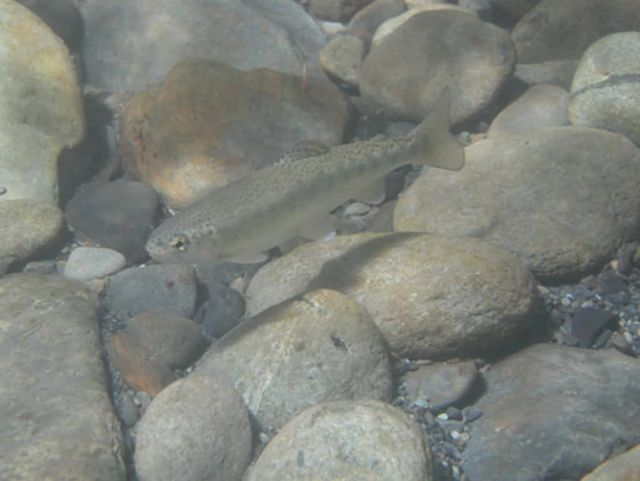 Trout in Elwha Picture