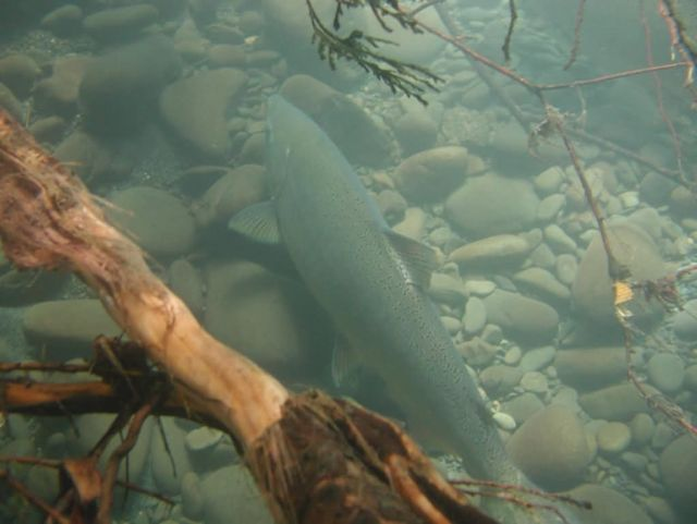 Adult Chinook Salmon in Elwha Picture