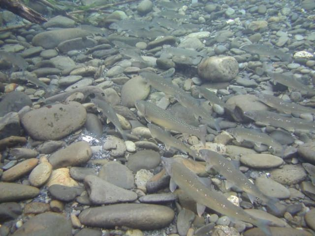 Bull Trout in Quinault Picture