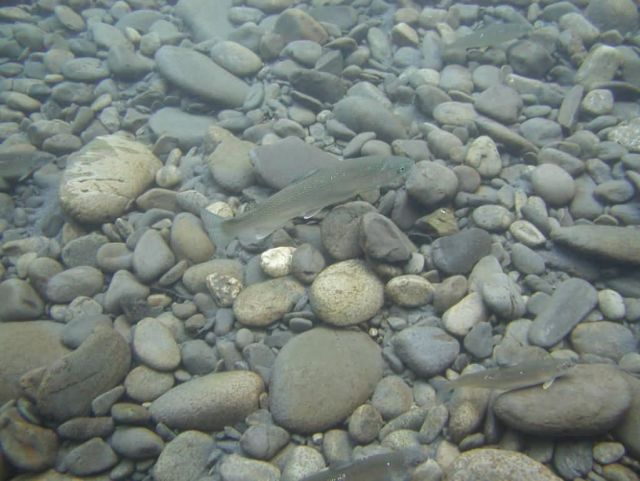 Trout in Quinault Picture