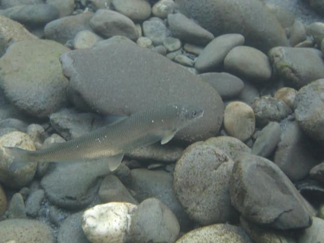 Whitefish in Quinault Picture