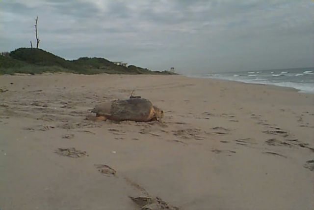 Loggerhead Sea Turtle with Satellite Transmitter Picture