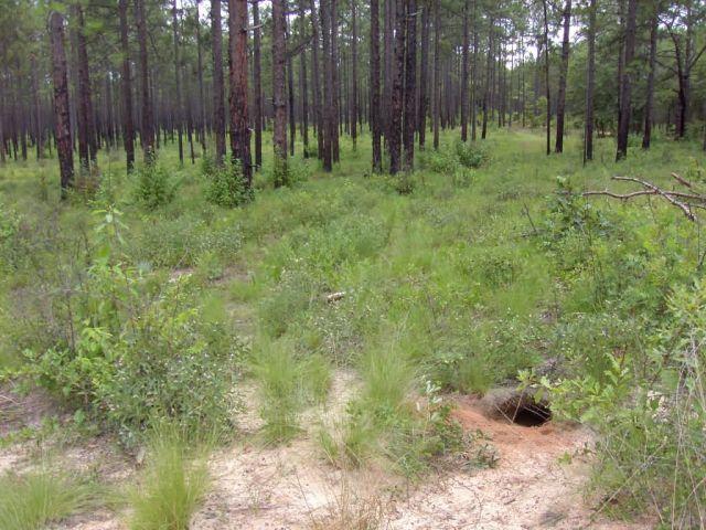 Gopher tortoise burrow and habitat (Gopherus polyphemus) Picture