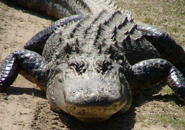 American Alligator Picture