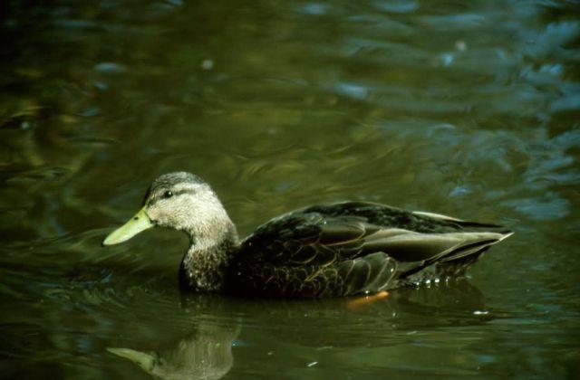 Black Duck Picture