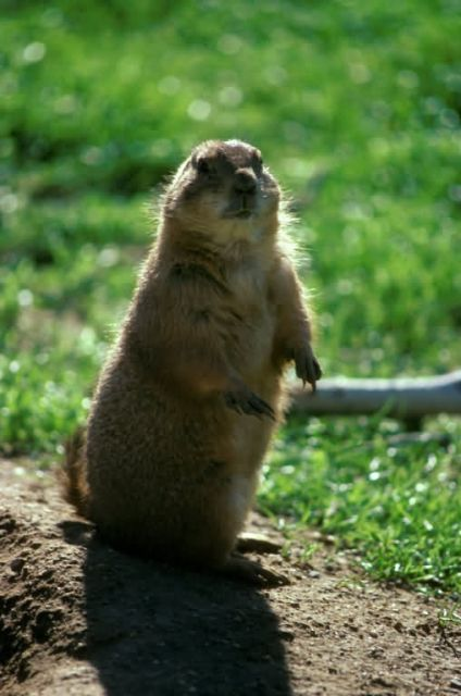 Prairie Dog Picture