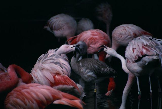 Flamingos Picture