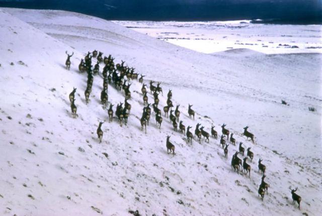 Mule Deer Herd Picture