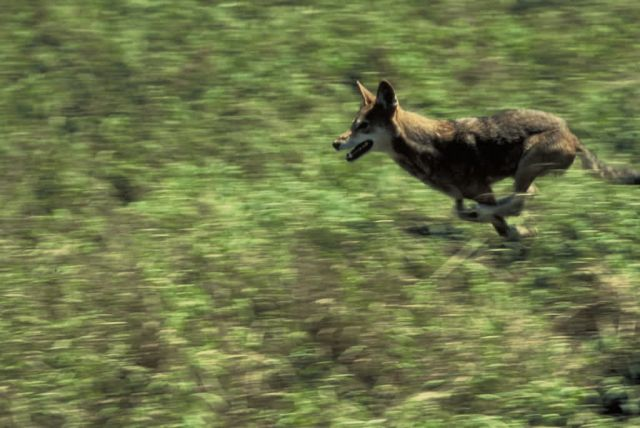 Red Wolf (running) Picture