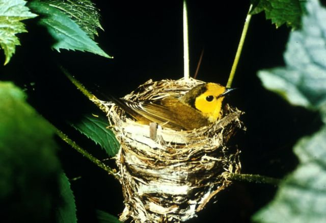 Hooded Warbler Picture