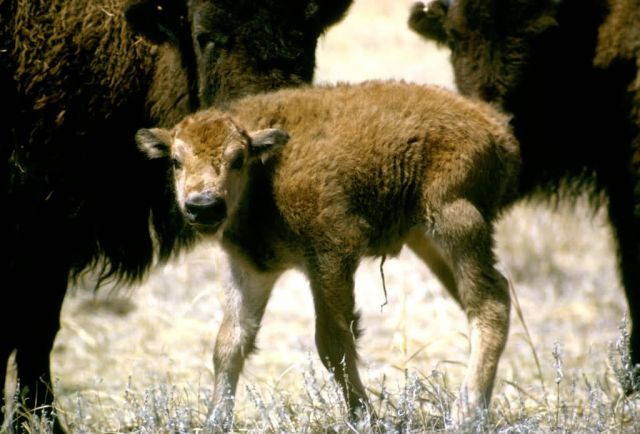 Bison Calf Picture