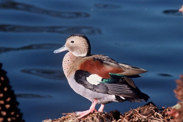 Ringed Teal (Brazil) Picture
