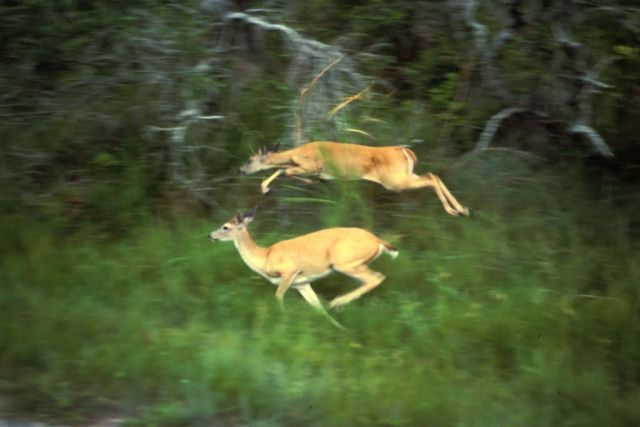 White-tailed Deer in Flight Picture