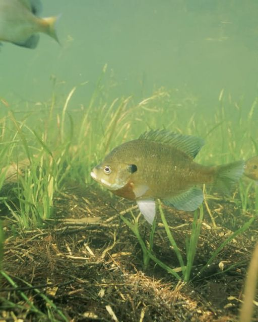 Bluegill Picture