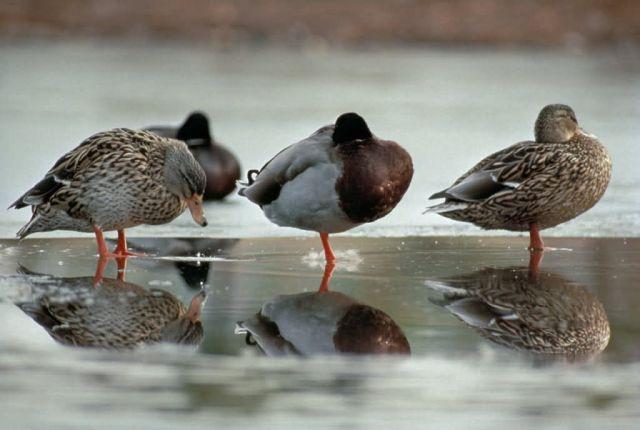 Mallard Ducks Picture