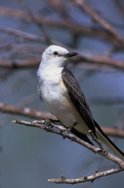 Scissor-tailed Flycatcher Picture