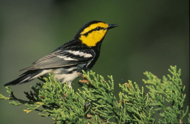 WO5228 Golden-Cheeked Warbler Picture
