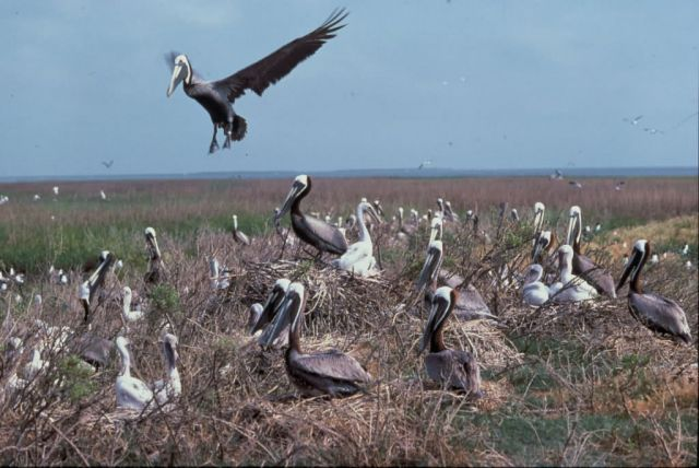 Brown Pelicans Picture