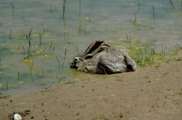 Jackrabbit in Water Picture