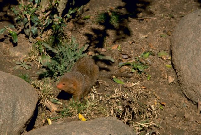 Dwarf Mongoose Picture