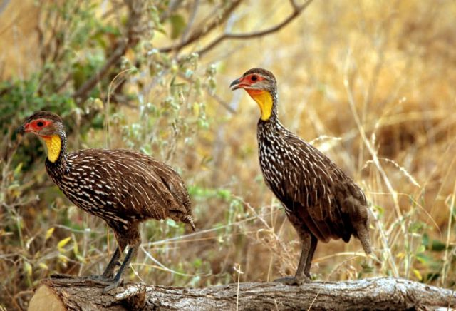 Yellow-necked Spurfowl Picture