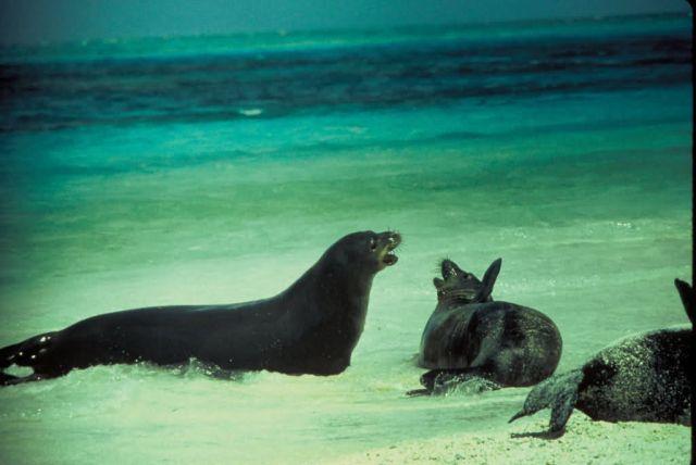 Hawaiian Monk Seals Picture