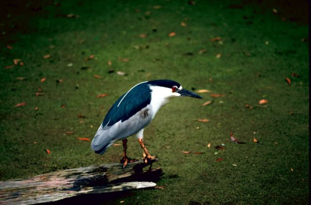 Black-crowned Night-Heron Picture