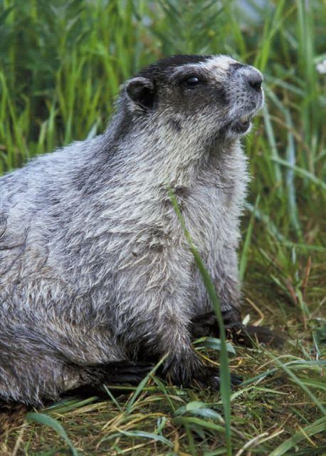Marmot Picture