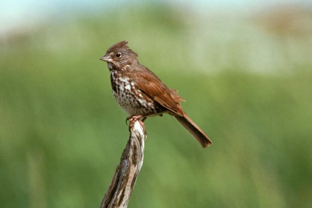 Fox Sparrow Picture