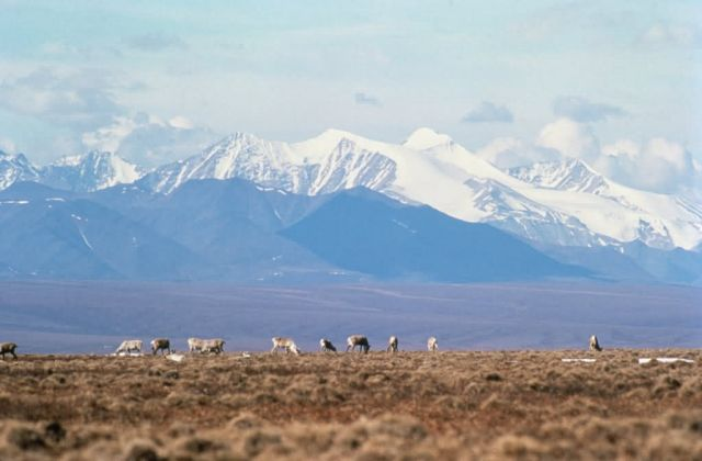 WO5180 Caribou on Brooks Range, Arctic NWR Picture