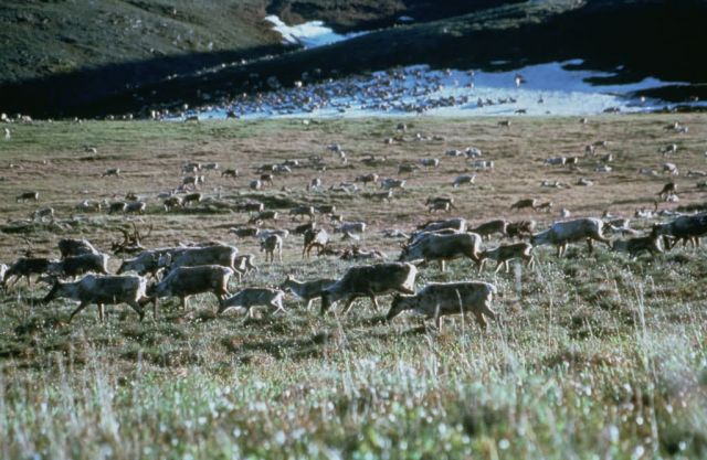 WO5181 Caribou on Brooks Range, Arctic NWR Picture