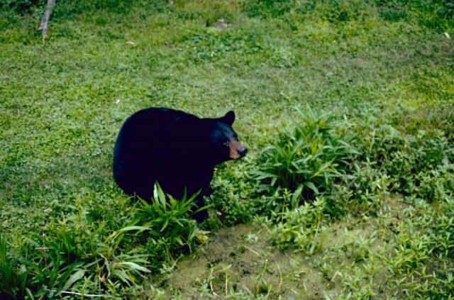Louisiana Black Bear Picture