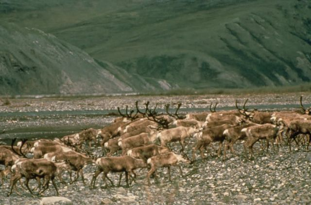 WO5168 Caribou , Arctic NWR Picture