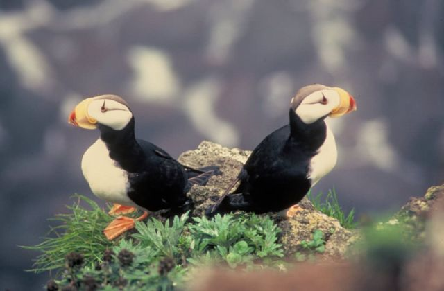 Horned Puffins Picture