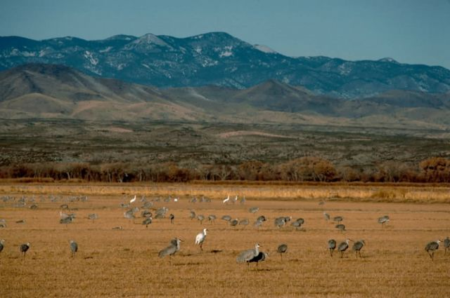 Whooping and Sandhill Cranes Picture