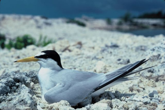 Least Tern Picture