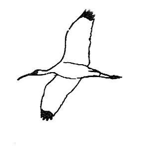 Wood Stork Picture
