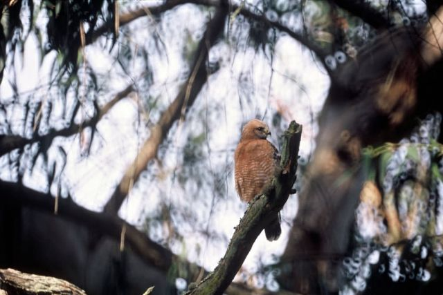 Red Shouldered Hawk Picture