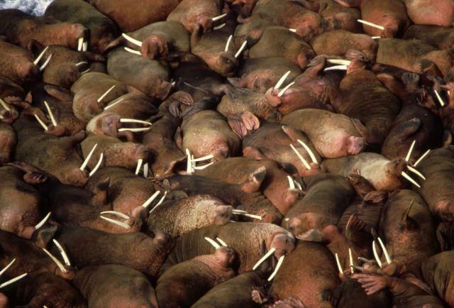 Walrus Herd Picture