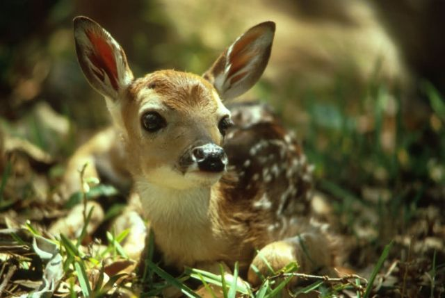 White-tailed Deer Fawn Picture