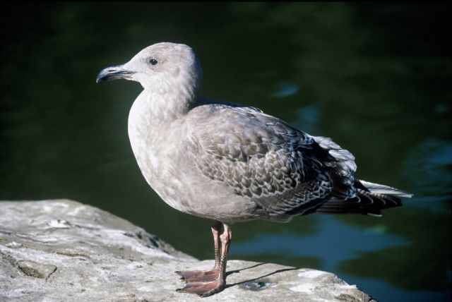 Juvenile Western Gull Picture