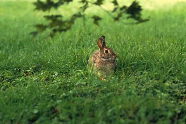 Eastern Cottontail Picture