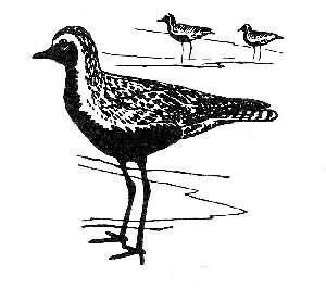 golden plover 2 Picture
