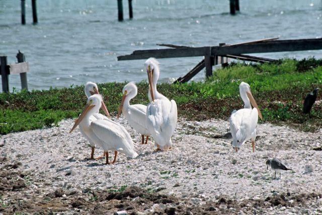American White Pelicans Picture