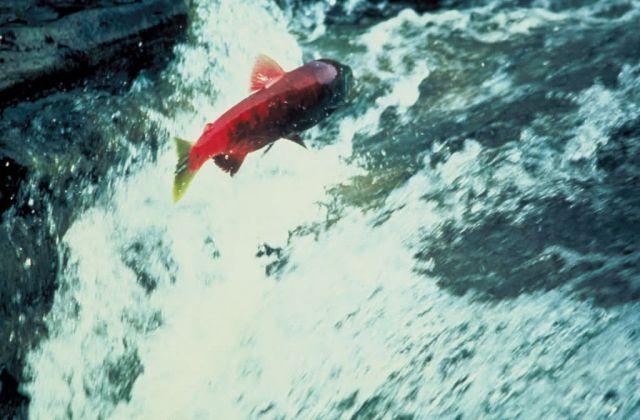 Alaska Salmon Picture