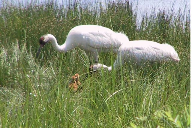 WOE217 Whooping Cranes with chicks Picture